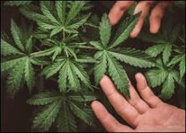 入手 マリファナ 大麻シード・大麻種・マリファナの種専門販売サイト 2021【TaimaSeed】